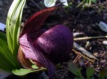 Cypripedium franchettii - China-Frauenschuh