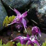 Fotos Epimedium grandiflorum