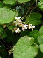 Fotos Epimedium pubigerum