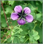 Fotos Geranium procurrens