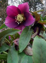 Fotos Helleborus purpurascens