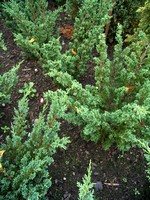 Fotos Juniperus chinensis