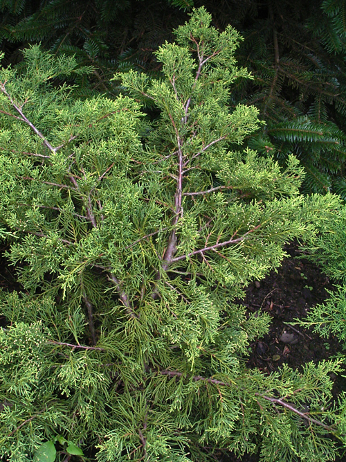 Fotos Juniperus chinensis -