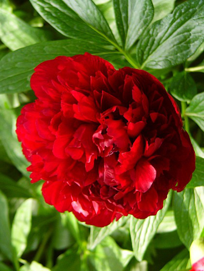 Fotos Paeonia officinalis -