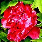 Fotos Paeonia suffruticosa