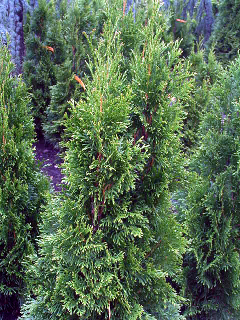 Fotos Thuja occidentalis -